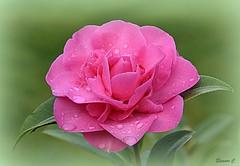 Weekend Flower (Eleanor (No multiple invites please)) Tags: flower camellia pinkflower vignette plnkflower raindrops garden stanmore uk nikond7200 february2019