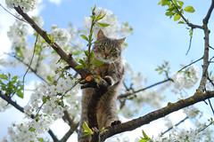 (Brînzei) Tags: apahida cluj fujifilmxpro1 fujinonxf35mmf14 kitty animals bokeh branches buds cats flowers sky spring staring trees