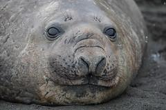 Southern Elephant Seal (Linda Martin Photography) Tags: female southernelephantseal southgeorgia wildlife southatlanticocean miroungaleonina goldharbour nature ngc naturethroughthelens coth coth5 npc