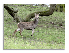 Chatsworth House, Deer looking so proud. (johnhjic) Tags: johnhjic derbyshire deer fawn tree moss eyes ears farmland spring lady grass green brown colour color lookout looking watching