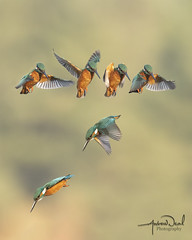 Kingfisher Hovering and Diving Sequence (AndyNeal) Tags: animal wildlife nature bird kingfisher birdsinflight hovering kingfisherhovering suffolkwildlifetrust lackfordlakes