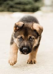 2019-03-02, Mel x Dezi Yellow Male-1 (Falon167) Tags: gsd germanshepherddog german shepherd dog puppy mel dezi melxdezi litter bessie puppies