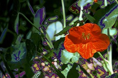 Tom thumb (maginoz1) Tags: tomthumb abstract art contemporary flowers manipulate curves foliage summer february 2019 bulla melbourne victoria australia canon g3x
