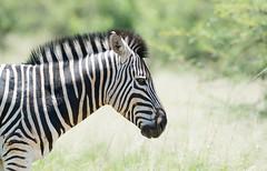 Pilanesberg beauty! (Jambo53 ()) Tags: crobertkok wildlife nature zebra southafrica pilanesberg burchellzebra commonbra equusburchelli