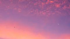 D750_10477.JPG (Jerry D'hoe) Tags: vogel zonsopgang maan lucht wolk blauweuur bird bluehour cloud goldenhour goudenuur moon sky sunrise