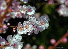 Almond blossom (Mike Reichardt) Tags: dwwg almondblossom almond almondtree closeup colors colorful close nahaufnahme nature nah natur macro makro details flower flowerpower farben farbenfroh blume blüte pfalz pfälzerweinstrasse pflanzen palatinate palatinatewineroute