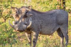 Marakele (Aperturesmith) Tags: marakele animals wildlife nature national park south africa bushveld bosveld bokke diere vlakvark pumba warthog