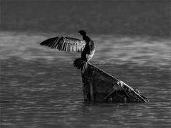 Paso prohibido (sdrobkov) Tags: black white blancoynegro fauna agua atardecer aves cormoran barca nikon d850 nikkor nikkor20050056vr