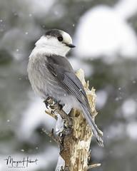 Mésangeai du Canada (Maryse Hébert) Tags: forêtmontmorency mésangeaiducanada