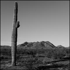 Guardian of the Desert (greenschist) Tags: square usa sonorandesert cactus cacti mountains blackwhite arizona saguaro pinalcounty carnegieagigantea santanmountainregionalpark