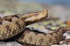 Vipera latastei (Fernando_Iglesias) Tags: herping herps iberian snake viper vibora venomous venom latastei