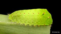 Stinging Nettle Slug Caterpillar, Aididae or Limacodidae? (Ecuador Megadiverso) Tags: aididae andreaskay caterpillar ecuador limacodidae stingingnettleslugcaterpillar