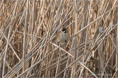 Reed Bunting (Huddsbirder) Tags: huddsbirder a6500 sony fe70300mm reedbunting rspb lakenheath