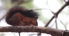 Écureuil roux (fauneetnature) Tags: écureuil squirrel mammifère animalier animal photonature photoanimalière animalsphotography nature naturephotography faune