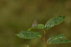 DSC_6736 (Hachimaki123) Tags: 所沢航空記念公園 tokorozawaaviationmemorialpark 日本 japan 所沢市 埼玉県 所沢 tokorozawa saitama animal insect insecto 虫 動物 butterfly mariposa