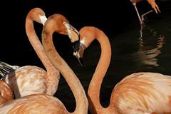 Two Flamingos And The Valentine Heart Shape (Bill Gracey 22 Million Views) Tags: flamingos heartshape sandiegozoo birds nature naturalbeauty darkbackground