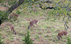 Texas Whitetails (austexican718) Tags: deer centraltexas hillcountry wildlife nature animal