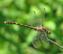 Common sanddragon (Progomphus obscurus) (Vicki's Nature) Tags: commonsanddragon male dragonfly brown yellow wings biello georgia vickisnature canon s5 3227