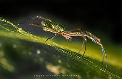 - ARAÑA SEDA DE ORO ( Nephila-clavipes) toma en  RESERVA DE Vte LOPEZ.! ( nikon 300 mm f:4 ) (FISHERMAN'S PASSION AND OPEN NATURE...) Tags: horaciopatronephotogrphy nephilaclavipes araña wildlife reservavicentelopez horacio patrone flora y fauna fotografianaturaleza