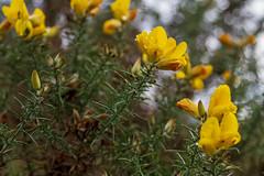 Peak Hill-1-22 (Sheptonian) Tags: somerset rural scenic landscape trees fauna grassland