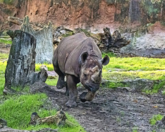 Black Rhinoceros (Harry Rother) Tags: animal mammal rhino rhinoceros black africa safari kilimanjaro endangered disney