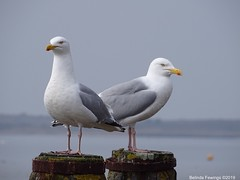 Seagulls on guard (Belinda Fewings (5 million views. Thank You)) Tags: seagulls birds two christchurch dorset nature wildlife belindafewings sonydschx400v 2 southcoastofengland seaside gulls looking mudefordquay