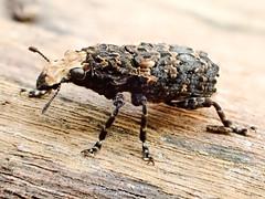 Platyrhinus resinosus (mickmassie) Tags: anthribidae coleoptera curculionidae gardentq209783 insecta