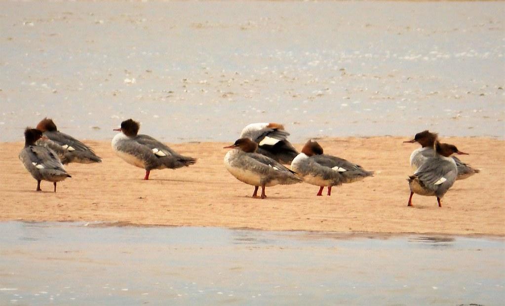 Red-breasted Mergansers. Mergus serrator