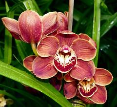 Cymbidium (Valley of Death 'Gypsy' x Wallacia 'Burnt Gold' 4n)  hybrid orchid (nolehace) Tags: winter flower bloom plant nolehace sanfrancisco fz1000 319 cymbidium valleyofdeath gypsy wallacia burnt gold 4n hybrid orchid cultivar