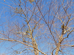 Tree On A Beautiful Saturday. (dccradio) Tags: lumberton nc northcarolina robesoncounty outdoor outdoors outside february winter afternoon saturday saturdayafternoon goodafternoon nikon coolpix l340 bridgecamera nature natural tree trees branch branches treebranch treebranches treelimb treelimbs sky bluesky