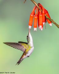 EMERALD, Andean (teddcenter) Tags: bird amaziliafranciae ecuador pinchinchaprovince hummingbird trochilidae andeanemerald tandayapalodge