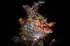 Plocamopherus tilesii (Luko GR) Tags: indonesia bali tulamben diving underwater macro critters muck seaslugs nudibranchs blackbackground
