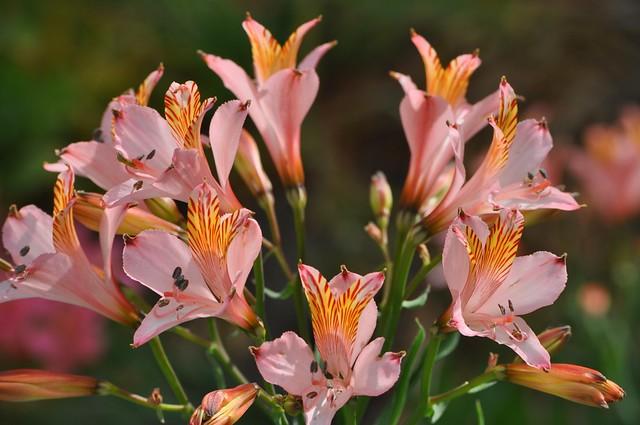 Обои Букет, Bouquet, Pink flowers, Альстрёмерия, Alstroemeria, Розовые цветы картинки на рабочий стол, раздел цветы - скачать