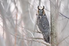 Long Eared Owl (Rob E Twoo) Tags: