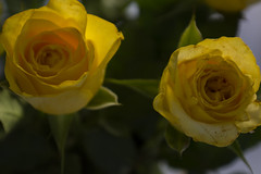 Roses (Rudi Pauwels) Tags: 2019onephotoeachday flowers roses yellow yellowroses