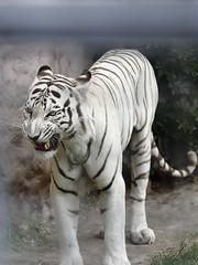 White tiger (Walter F.S.) Tags: tiger tigre blanco felino big cat animal nature naturaleza zoo zoologico white phanter bengala animales canon 6dmarkii