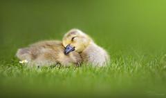 Sleepy (Paula Darwinkel) Tags: canadagoose gosling goose duckling chick baby animal wildlife nature bird green wildlifephotography birdphotography spring