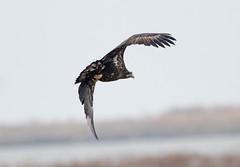 7K8A1051 (rpealit) Tags: scenery wildlife nature edwin b forsythe national refuge brigantine immature bald eagle bird
