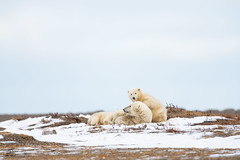 He Woke Mom Up (Glatz Nature Photography) Tags: anwr alaska arctic arcticalaska barterisland glatznaturephotography icebear kaktovik nanook nanuk nanuq nature nikond850 northamerica northslope polarbear usnationalparks ursusmaritimus wildanimal wildlife