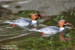 DSC_0541_Common merganser (Mergus merganser) (sdttds) Tags: duck bird waterfowl davis putahcreek ucdavis arboretum wildlife 100xthe2019edition 100x2019 image13100 mergusmerganser