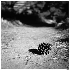 Cone on trail (TPStearns) Tags: film trix mediumformat 120 square hasselblad 2000fcw monochrome blackandwhite bw 50mmcffle