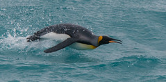 Surfin' King (Tim Melling) Tags: king penguin aptenodytes patagonicus porpoising flying midair south georgia timmelling