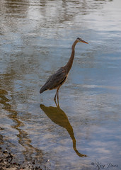 FM5A0345 (Kemp Davis) Tags: wildlife nature aquaticbird greatblueheron