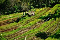 INDONESIEN, Bali ,unterwegs nach Klungkung (Reisterrassen) 18025/11262 (roba66) Tags: bali urlaub reisen travel explore voyages rundreise visit tourism roba66 asien asia indonesien indonesia insel island île insulaire isla reisterrassen rice ricefields reis green grün landschaft landscape paisaje nature natur naturalezza