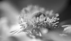 Eclipse of the Heart (setoboonhong) Tags: nature flower monochrome bw centre stigma stamens sunshine bokeh blur anemone petals song totaleclipseoftheheart bonnietyler fitzroygardens outdoors