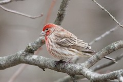 Male House Finch (Anne Ahearne) Tags: wild bird animal nature wildlife red finch housefinch cute songbird birdwatching tree branch closeup