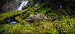 Taming the Shroom (Matt Straite Photography) Tags: mushroom nature landscape water waterfall rain green moss