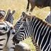 Plains zebras and Blue wildebeest, Masai Mara