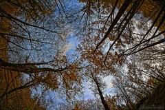 In the woods - Dans les bois (Sébastien Vermande (Only the Weekend)) Tags: canon100d france midipyrénées lot aveyron automne autumn arbres trees forêt forest orange outside colours couleurs sky ciel hdr samyang8mm fisheye vermande