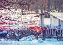 Watching the sun rise on the last days of winter (Roy Manchester) Tags: canon 5dmk4 ef70200f28isiiusm catskill newyork unitedstatesofamerica us ef eos hudsonvalley horses snow sunrise canonllenses colors availablelight animals geotag gps